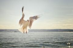 gull-192909